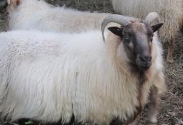 KF SHEEP FS IVY