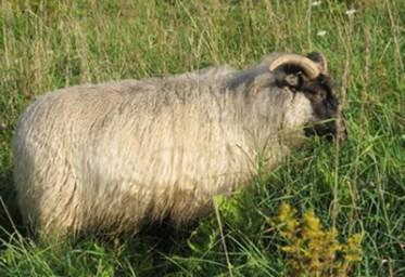 KF SHEEP FS POPPY