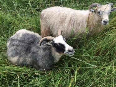 gesa with lamb