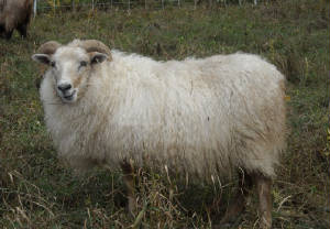 Sheep/cream1.JPG
