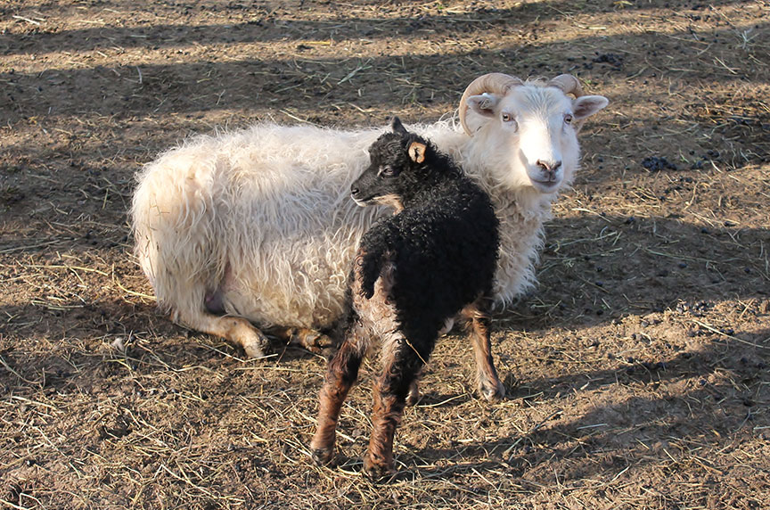 Sheep/Capemouflon.jpg